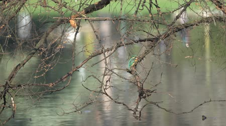 por que : kingfisher on tree