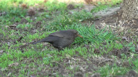 turdus merula : turdus merula common blackbird Stock Footage
