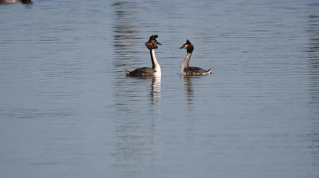 cristatus : courtship of the great crested grebe Stock Footage