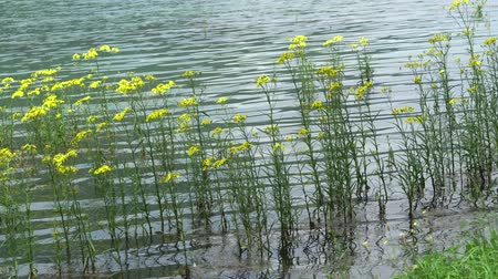 inculto : floating yellow wildflower at lake Stock Footage