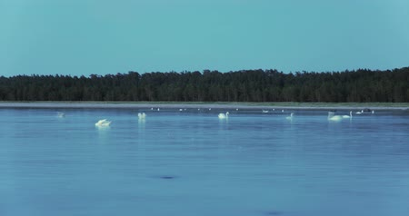 kuş gözlem : Time lapse of a large group of white swans floating in a calm sea and diving for food with a forested beach in the background