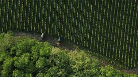 Aerial view of a tractor in a vineyard. Farmer spraying grape vines with tractor