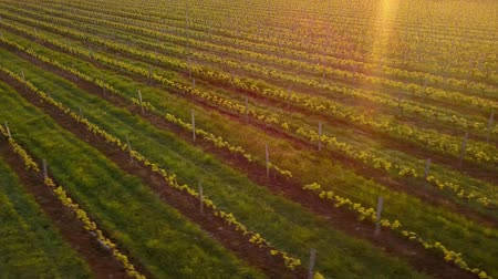 Aerial flight over beautiful vineyard landscape in France at sunset. 4K UHD.