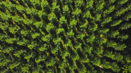 Aerial View Of A Poplar Trees Plantation, Sainte Croix Du Mont, Gironde, France