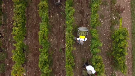 winnica : Aerial view of manual harvest in south ouf france Wideo