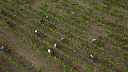 şarap : Aerial view of manual harvest in south ouf france Stok Video