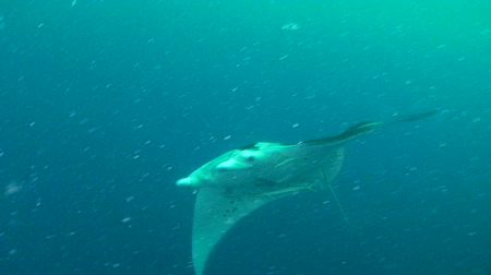 ışınları : Large Manta Ray (Manta birostris) swimming, Palau, Micronesia Stok Video
