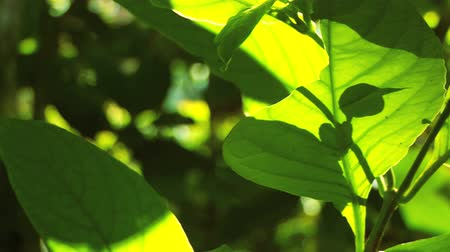 sűrű : Sunlight filtering on lush rainforest vegetation in close-up  with audio Stock mozgókép