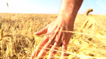 изобилие : Hand brushing over the heads of ripening wheat in a field  60FPS