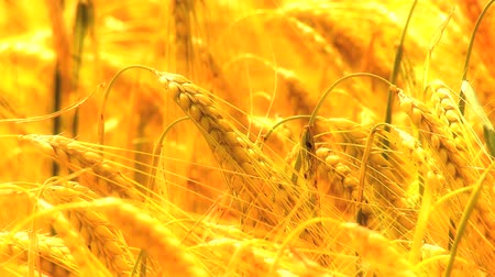 parlayan : Into focus shot of sun shining on golden heads of wheat in close-up Stok Video