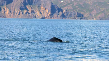 wieloryb : Iconic tail of humpback whales swimming in clear icelandic waters 60 FPS Wideo