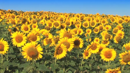 girassóis : Sunflower field with clear summer sky