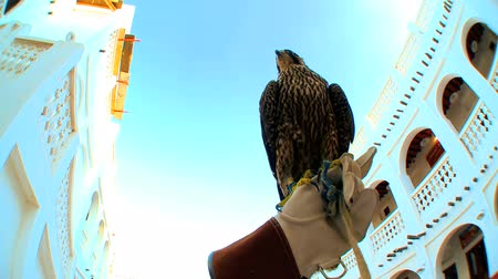 dishdasha : Trained bird of prey perching on the gloved wrist of its owner
