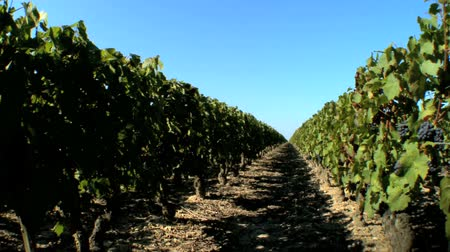 kırmızı şarap : Rows of grapevines in a vineyard- pan shot