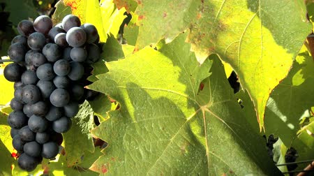 kırmızı şarap : Close shot of vine leaves and bunch of red grapes, motion jib Stok Video