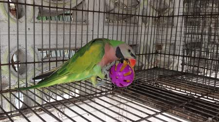 arara : Beautiful colored parrots are playing fun, plastic balls.