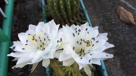 хрупкий : Echinopsis subdenudata and Bee pollen mixture. Стоковые видеозаписи