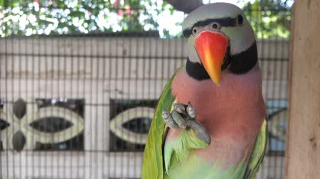 arara : Beautiful green-pink parrot Being feather decorated regularly after bathing So that feather beautiful.
