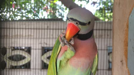 díszített : Beautiful green-pink parrot Being feather decorated regularly after bathing So that feather beautiful.