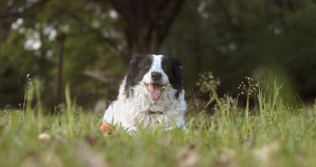 凝視 : Purebred Border Collie panting after a long play 動画素材