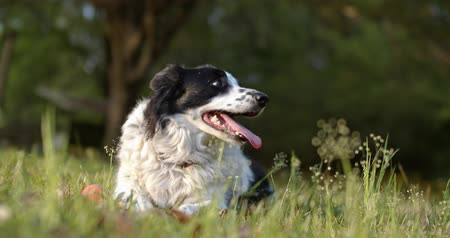 Purebred Border Collie panting after a long play Stock Footage