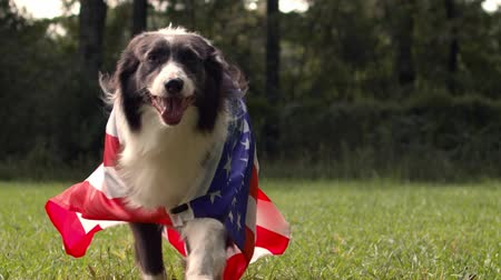 Border collie dog running outside in slow motion with the US American flag Stock Footage
