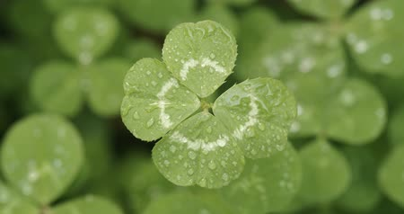 sorte : Lucky four leaf clover in a field of clovers. Shamrock shape lucky charm or St. Patricks Day.