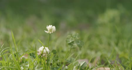 lucky charm : Good luck charm, lucky four leaf clover in a grassy field. Stock Footage