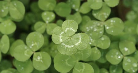 patrik : Lucky four leaf clover in a field of clovers. Shamrock shape lucky charm or St. Patricks Day.