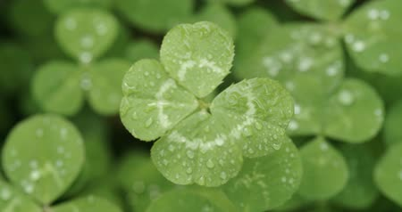 patrik : Slowly focusing on a lucky four leaf clover. Shamrock shape for lucky charm or St. Patricks Day.