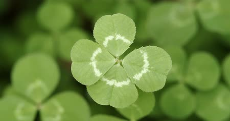 lucky charm : Panning across a field of clovers stopping on a lucky four leaf clover. Shamrock shape for lucky charm or St. Patricks Day. Stock Footage