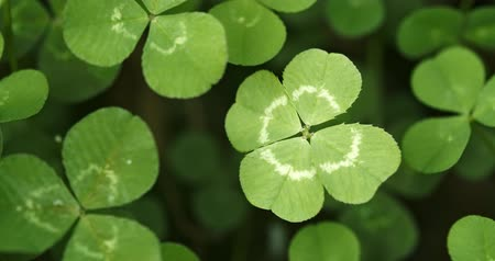 st patrick : Panning across a field of clovers stopping on a lucky four leaf clover. Shamrock shape for lucky charm or St. Patricks Day. Stock Footage