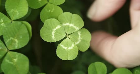 patrik : Panning across a field of clovers , finding, and picking a lucky four leaf clover. Shamrock shape for lucky charm or St. Patricks Day.