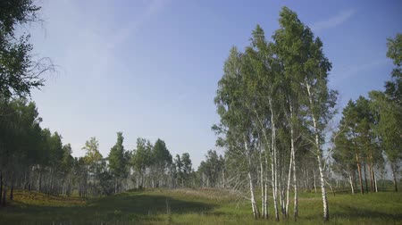 wood glade : Panorama view of trees growing on glade located at forest edge.