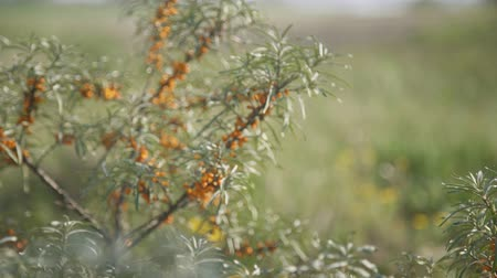 buckthorn : Close up view of buckthorn bushes waving in wind.