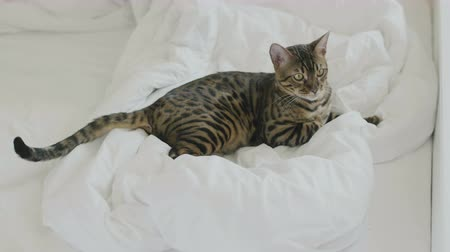 pleading : Bengal cat rest on white bed sheets 4k