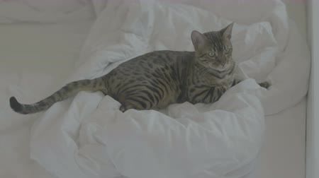 pleading : Bengal cat rest on white bed sheets 4k flat color Stock Footage