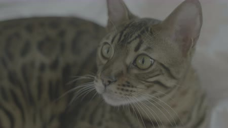 pleading : Bengal cat resting on white bed sheets and looking on camera close up 4k flat color