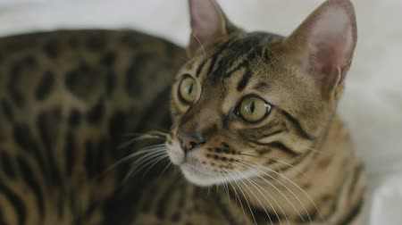 lineage : Bengal cat resting on white bed sheets and looking on camera close up 4k