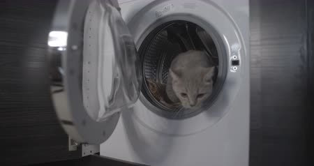 british cat : Cat jumps out of the washing machine flat color Stock Footage