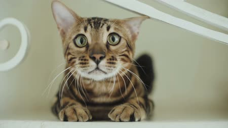lineage : Bengal cat sits in front of the camera Stock Footage
