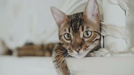 lineage : Bengal cat resting and looking straight into the camera