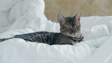 lineage : Bengal cat resting on white bed and looking into the camera slow motion