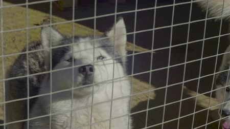 wolf dog : Husky Dogs Stand In Aviary