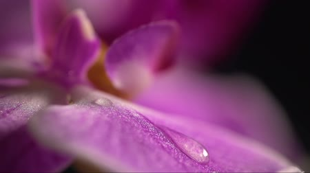orchidea : Close Up of Purple Orchid Flower With Water Drops