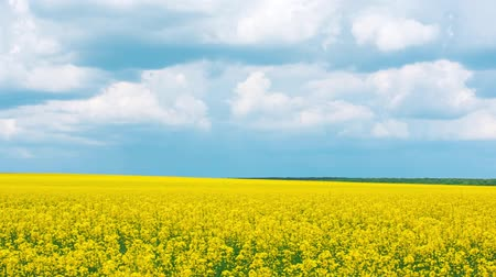 pan : Sunny hot day. Some cumulus clouds. Panorama of a field with yellow wild flowers.