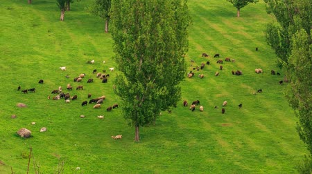goatherd : Sheep feeding grass fresh green field with some trees Stock Footage