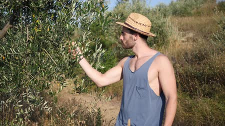 szieszta : Attractive, fit young man relaxing walking in a grass field, checking olives on olive tree, wearing straw hat
