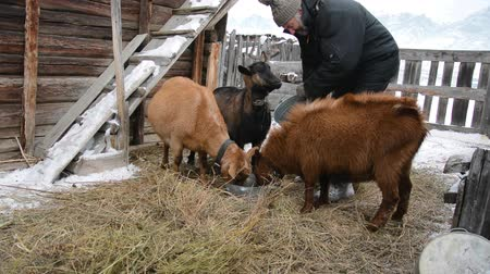krátkosrstá : Dairy goats of the Czech breed in winter (Brown Shorthair Goats - Capra aegagrus hircus).