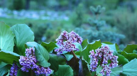 badan : Bergenia crassifolia flowers. Saxifragaceae Family. Pink flowers of blooming Bergenia. Bergenia crassifolia is used as a tea substitute in its native Siberia, Altay and Mongolia. Stock Footage